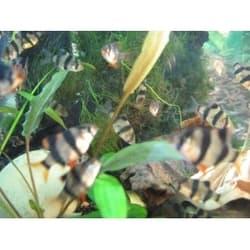 Барбус суматранский S (12-15мм)